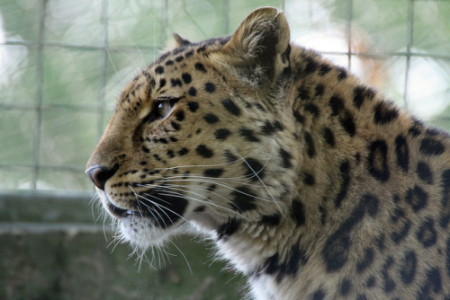 Leopard-fig.3